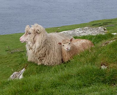 Faroes sheep