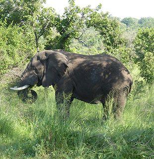 Rwanda elephant