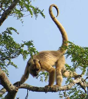 Brazil monkey