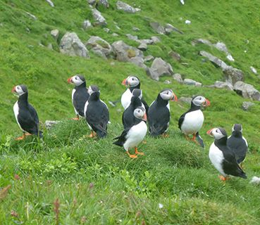 Faroes puffins