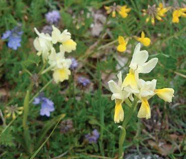 Romania orchid