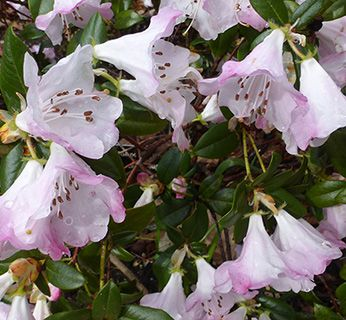 Cornwall rhododendron