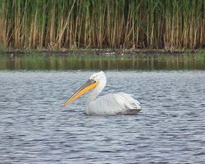 Romania pelican