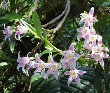 Panama - orchids