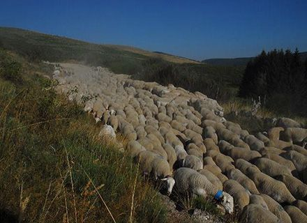 Cevennes sheep
