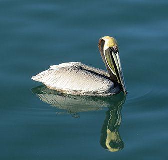 Costa Rica pelican