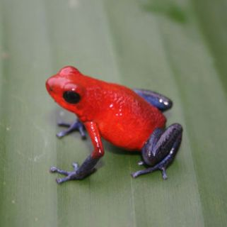 Arrow frog
