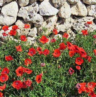 Menorca poppies