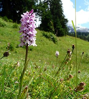 Gstaad orchid