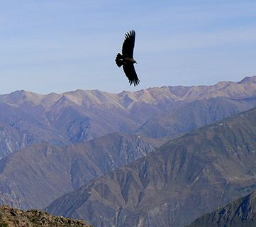 Peru condor