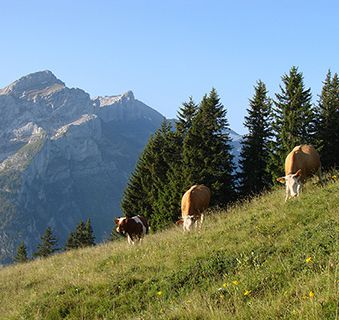 Gstaad cows