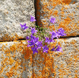 Georgia lichen