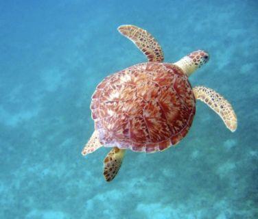 Barbados - turtle