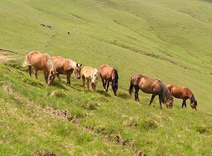 Romania horses