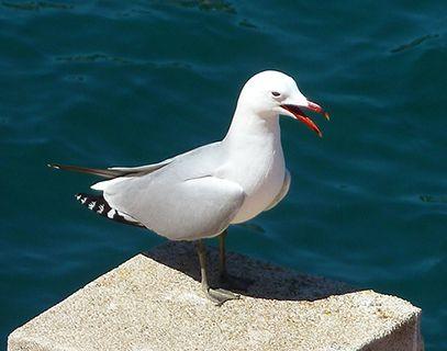 Menorca Audouin gull