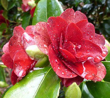 Cornwall camellia