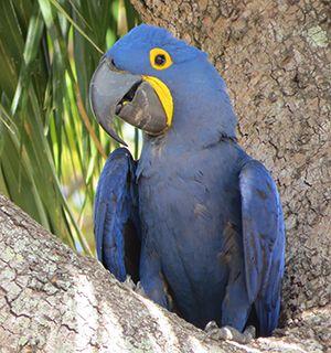 Brazil macaw