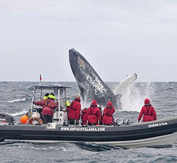 Azores humpback