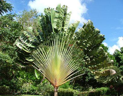 Barbados - Traveller's tree