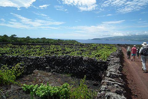 Azores vineyard